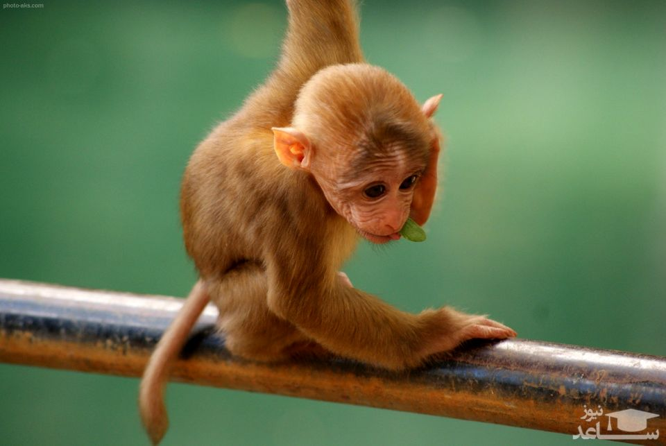 آمریکا درگیر آبله میمون شد